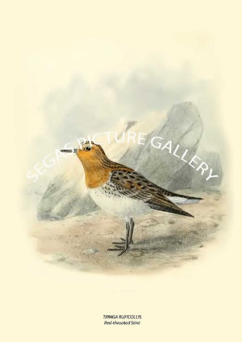 Fine art print of the TRINGA RUFICOLLIS - Red-throated Stint by Henry Seebohm (1887)